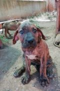 Gresi - cachorro Mastín hembra