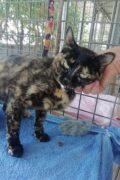 Shami - Hermosa gata hembra de carey