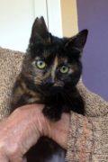 Caramelo - gato de carey joven amigable