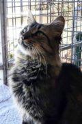Tommy - gato macho amigable
