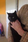 Zandy - hermoso gato macho negro