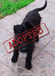 Karla female terrier puppy adopted