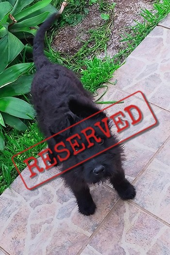 Karla female terrier puppy reserved for Holland
