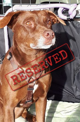 RESERVED: Tuca – female Podenco Labrador cross