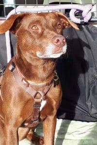 Tuca female Podenco Labrador cross