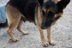 Zoe, 7 year old female German Shepherd