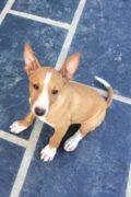 Bruno – young male Podenco needs a home