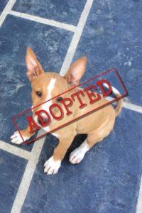 Bruno Podenco adoptado en el Reino Unido