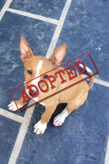 Bruno Podenco adopted in the UK