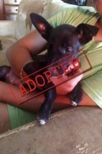 Adoptado: Blackie, cachorro cruzado Border Collie Podenco macho