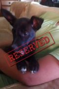 RESERVED: BLACKIE – male Border Collie Podenco cross puppy