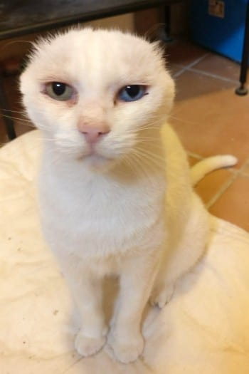 Estrella, gata adulta recuperada de cáncer