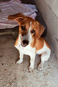 Pinta, playful young female dog needs a home